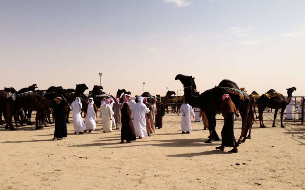 Camels being judged at a camel beauty pageant in the Al Dhafra Region